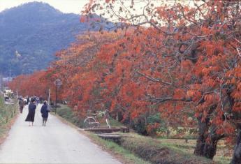 柳坂野漆樹節