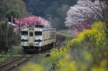 櫻花與油菜花盛開的田園風景